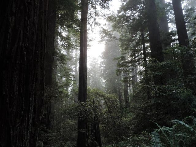 The sun peaks through the trees in Redwood National Forrest.