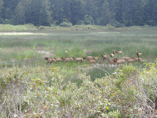 Roosevelt Elk are abundant - apparently - in certain parts of northern California.